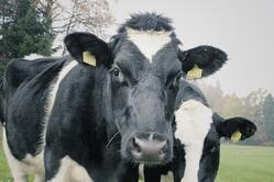 cows-1264545_1280