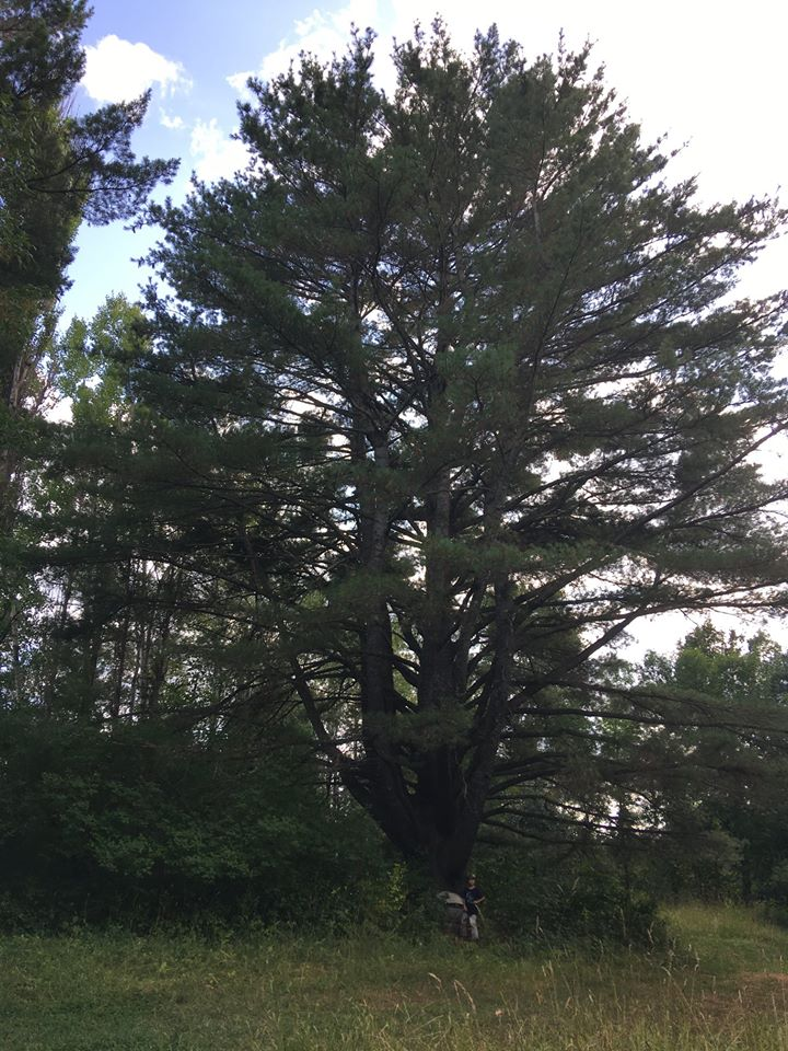 The LARGEST WHITE PINE in Michigan